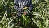 Sweet Corn Pappas Harvest_N5A8597