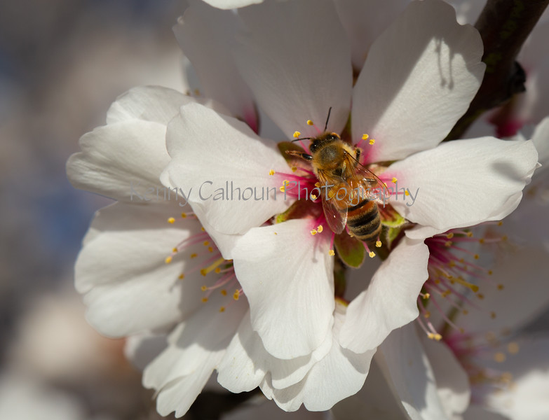 Almond Blooms 2-22-20-1828