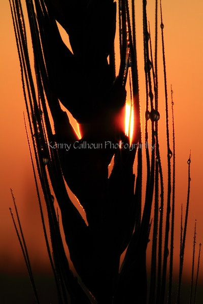 Wheat at Sunrise