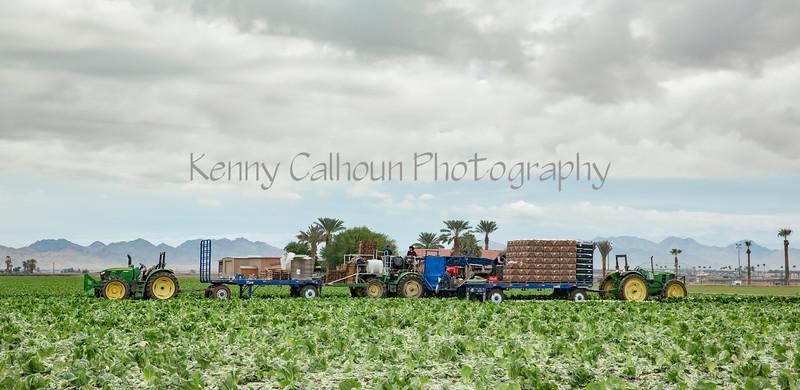 Yuma Lettuce Harvest--12