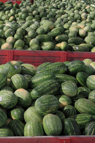IMG_2933Warermelon_Harvest
