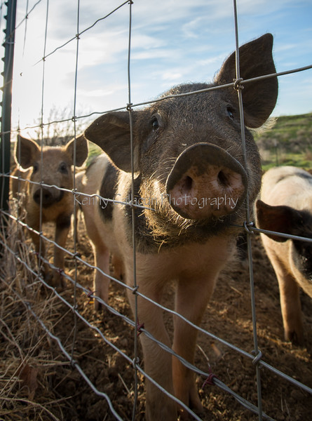 Pigs and Hogs 3-9-18-2911
