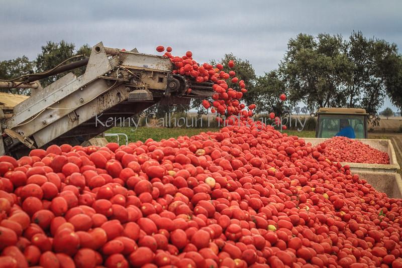 Tomato_Harvest_August_31,_2012IMG_8628untitled