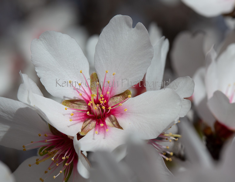Almond Blooms 2-21-20-1196