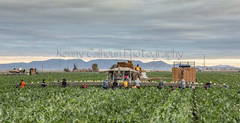 Yuma Cauliflower Harvest 12-18--6