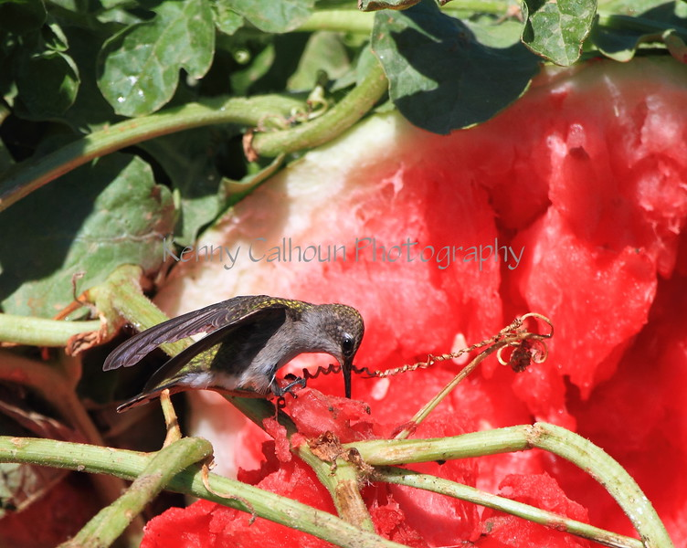 Hummingbird and Watermelon 3