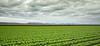 Yuma Lettuce Harvest--3