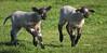 3-2-16 Yolo Sheep Twins_N5A3085-Edit