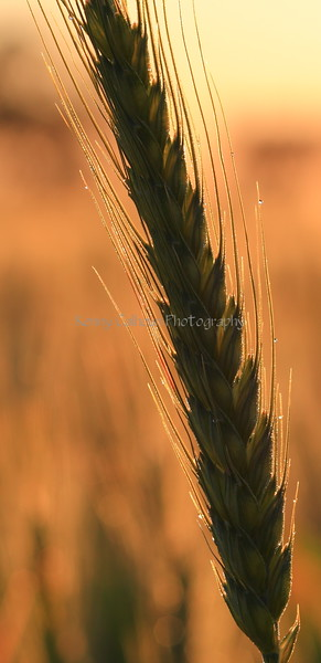 Wheat At Sunrise 8