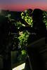 7088DefineVivezaRominger Grape Harvest