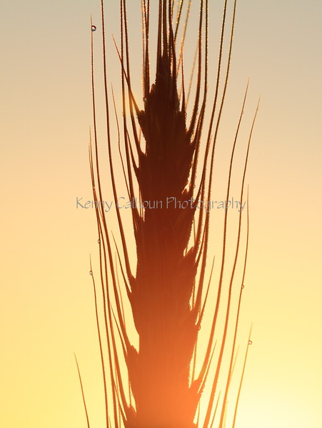 Wheat at Sunrise 4