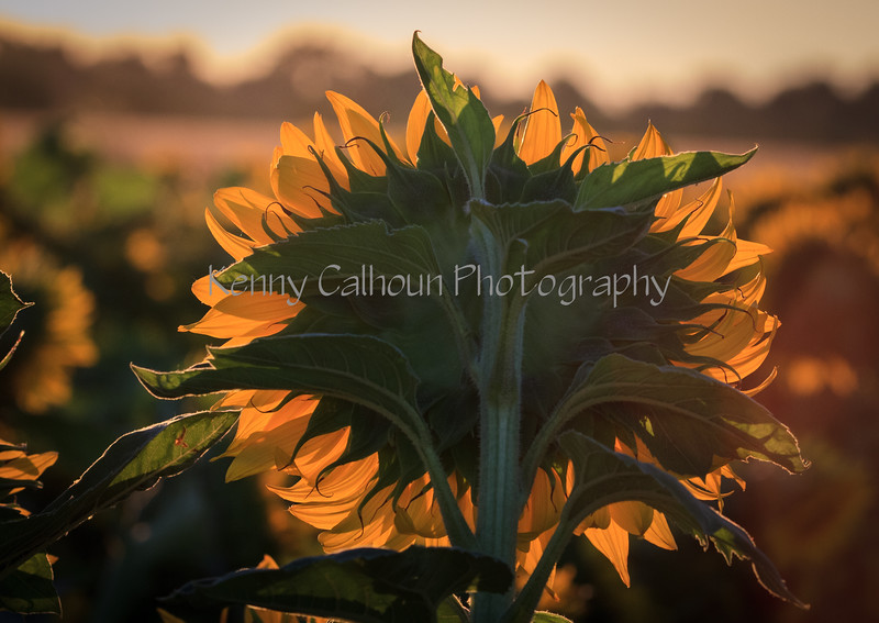 Buttes and SunflowersIMG_7506