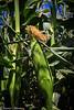 Sweet_Corn_Prima_Bella_7-18-July_18,_2012IMG_5706untitled