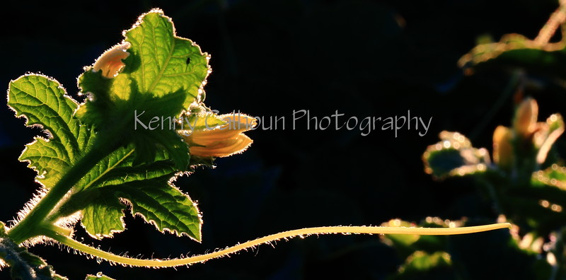 Back Lit Melon Bloom