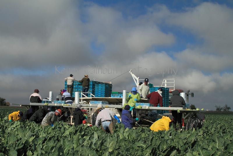 IMG_8382Cauliflower Harvest