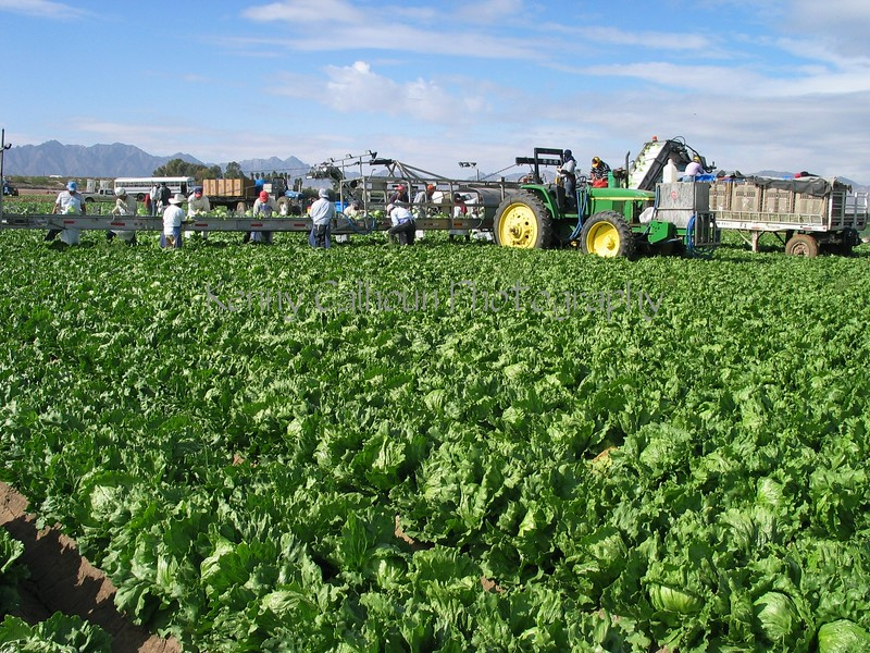 Head Lettuce Harvest Yuma 2