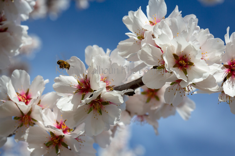 Almond Blooms 2-21-20-1235