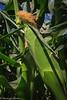 Sweet_Corn_Prima_Bella_7-18-July_18,_2012IMG_5683untitled