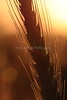 Wheat At Sunrise 9