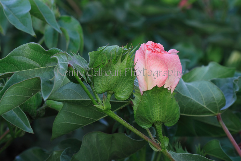 IMG_0444CottonBloomsAM