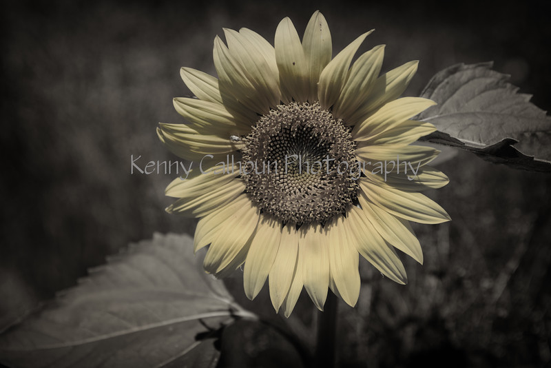 Pastel Sunflower_N5A7424-Edit