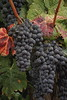 IMG_5856_HDR9-11_Mullers_Grapes_HDR