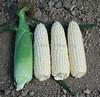 IMG_3917Sweet Corn XTH 3674