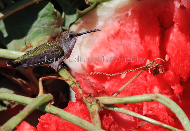 Hummingbird and Watermelon 2