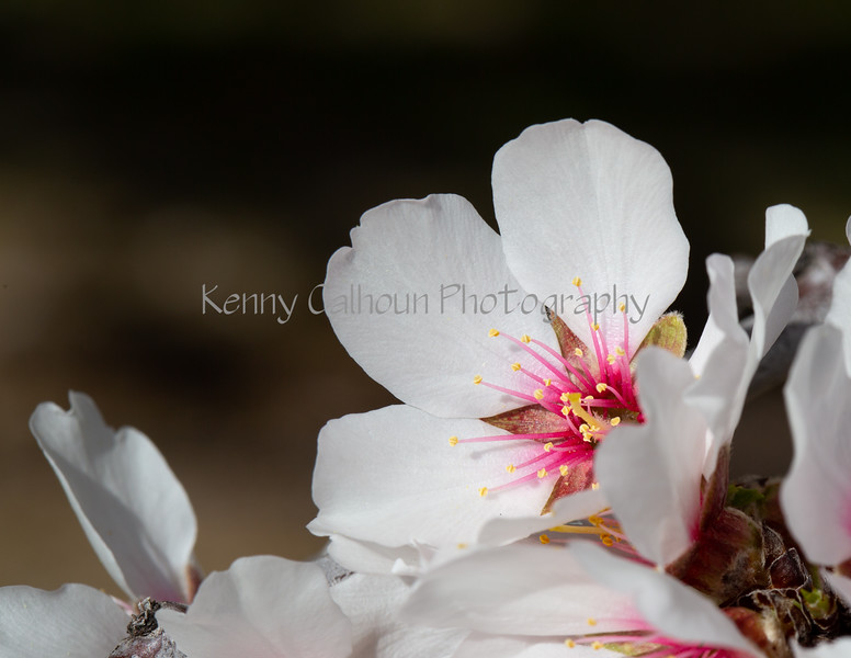 Almond Blooms 2-21-20-1190