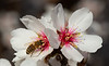 Almond Blooms 2-22-20-1832