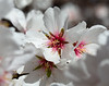 Almond Blooms 2-21-20-1165