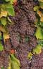 Muller_Wine_Harvest_IMG_6603-2