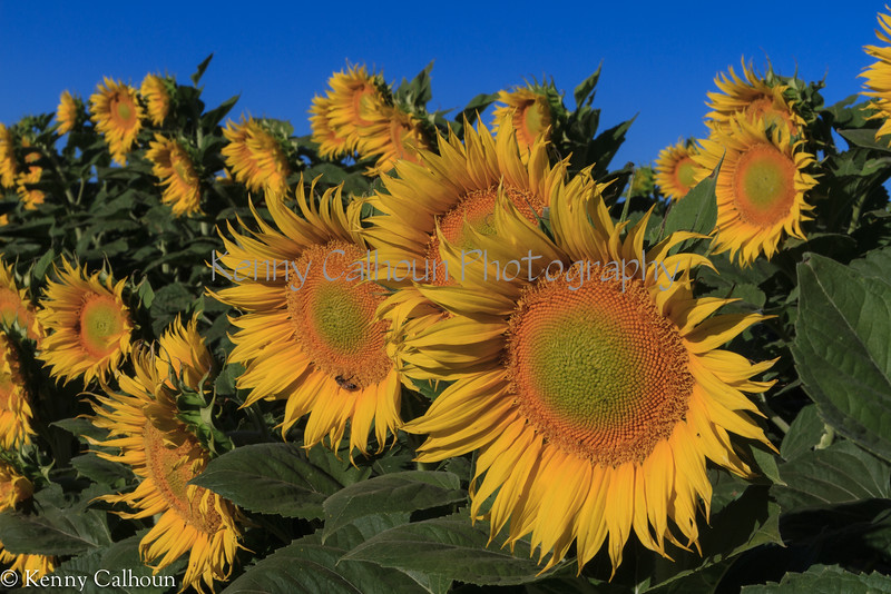 Sunflower-June_22,_2012IMG_4084untitled