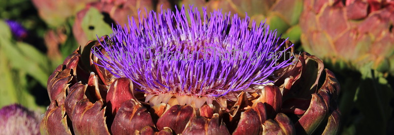 Artichoke Blooms 4