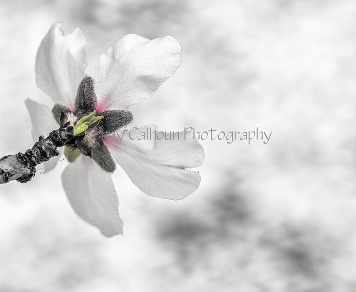 Almond Blooms_N5A0213-Edit-Edit