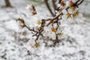 Almond Blooms_N5A0161