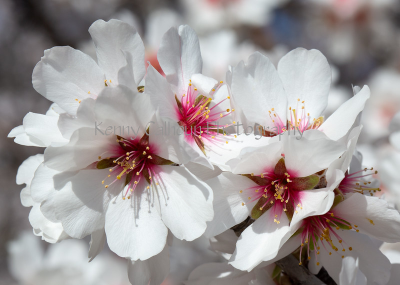 Almond Blooms 2-21-20-1176