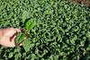 Yuma Spinach 11-4-4972-2