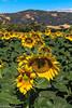 Sunflower-June_22,_2012IMG_4179untitled