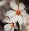 Almond Blooms 2-22-20-1540