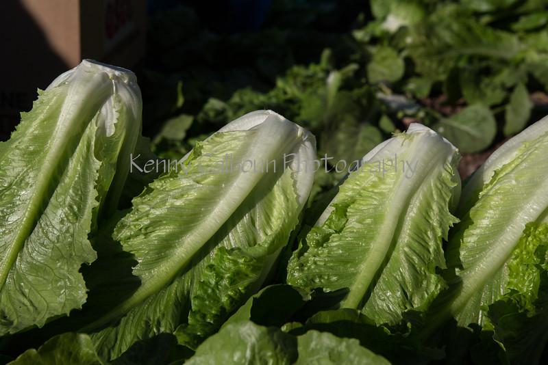 Yuma LettuceDecember_11,_20121N5A8826untitled