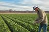 Head Lettuce 12-4 Dome-4134