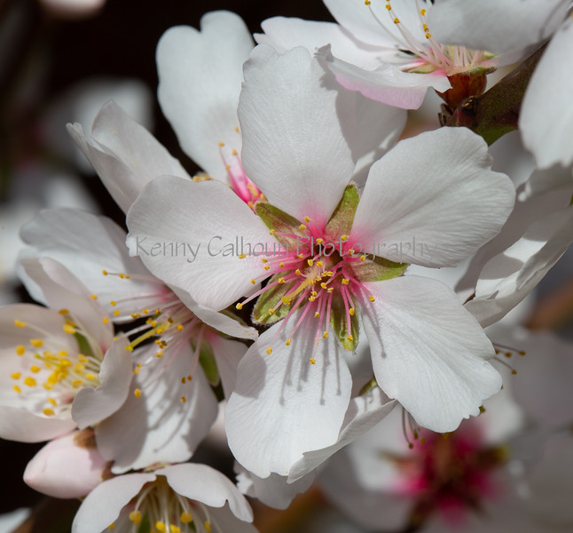 Almond Blooms 2-21-20-1243
