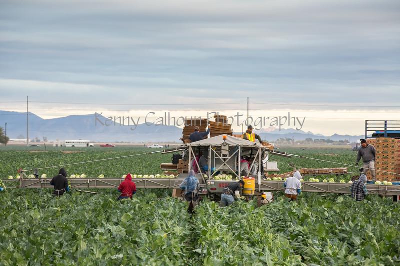 Yuma Cauliflower Harvest 12-18--3