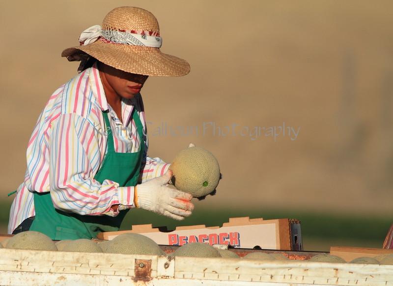 Cantaloupe Harvest 1