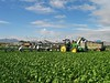 Head Lettuce Harvest Yuma 1