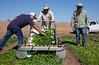 Yuma Spinach 11-4-5042-2