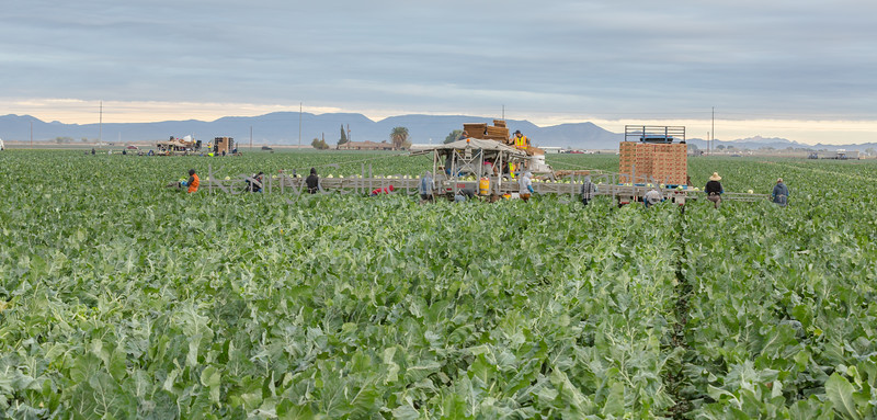 Yuma Cauliflower Harvest 12-18-4412