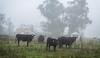 Foggy Steers_N5A9921-Edit-Edit