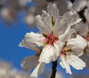 Almond Blooms 2-22-20-1510